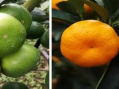 这12个品种陆续上市!在砂糖橘沃柑疯狂扩种时,我们该种啥?