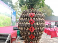 """全州安和举行第四届""""都庞香芋•淮山""""文化活动,8.4斤的芋头和28.2斤的淮山惊艳全场"""
