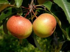 特产早知道——延边苹果梨