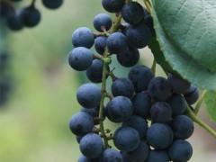 麻阳刺葡萄