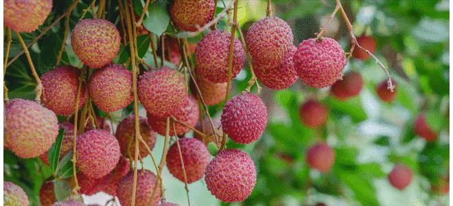 广西名优特产:荔枝,不仅是一种夏季时令水果这么简单,故事多多